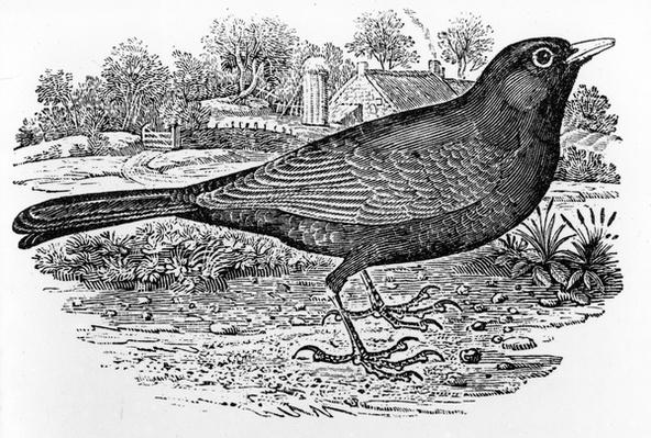The Blackbird, illustration from 'A History of British Birds' by Thomas Bewick, first published 1797