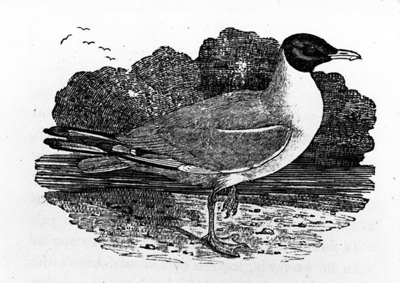 Black-Headed Gull, illustration from 'A History of British Birds' by Thomas Bewick, first published 1797