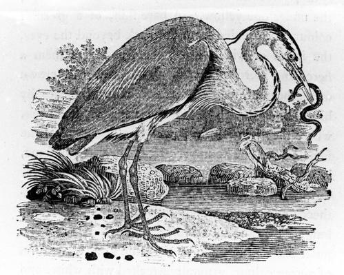 Heron, illustration from 'A History of British Birds' by Thomas Bewick, first published 1797