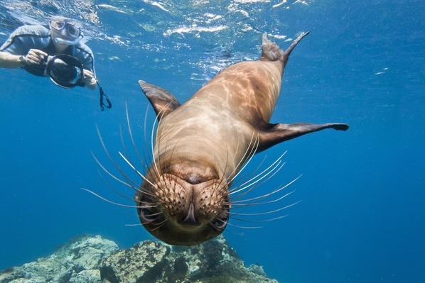 Galapagos Sea Lion (Zalophus Wollebaeki) Underwater with Snorkeler