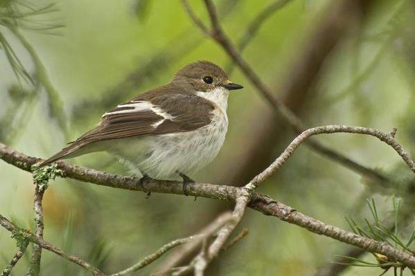 Pied Flycatcher, Ficedula hypoleuca | Animals, Habitats, and Ecosystems