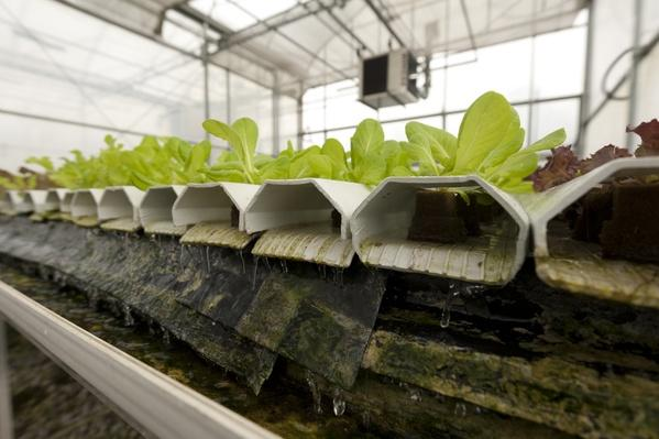 A crop of lettuce at a hydroponic farm | Agriculture and Forestry