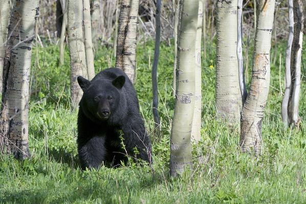 A black bear looks out from an aspen grove | Animals, Habitats, and Ecosystems