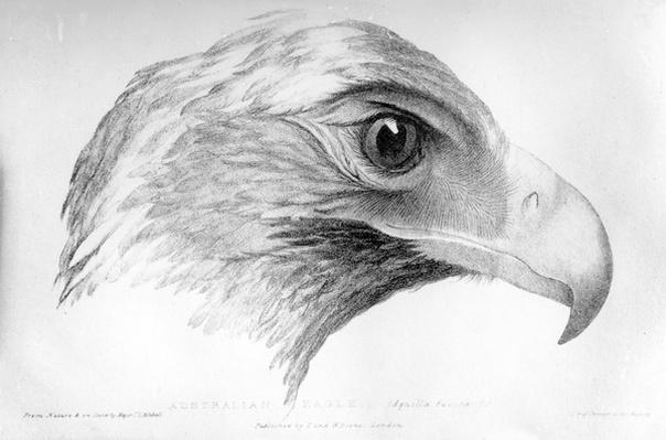Australian Eagle, illustration from 'Three Expeditions in the Interior of Eastern Australia' by Major T. L. Mitchell, published c.1828