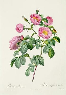 Rosa Mollissima, from 'Les Roses' by Claude Antoine Thory