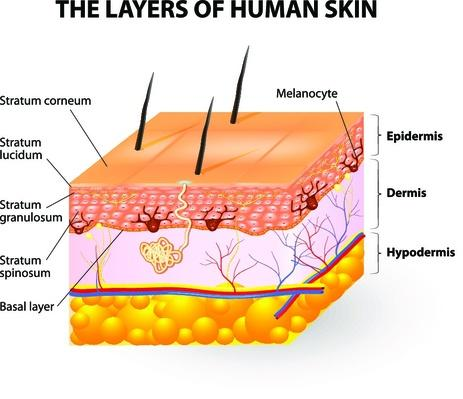 layers of human skin. Melanocyte and melanin | Science and Technology