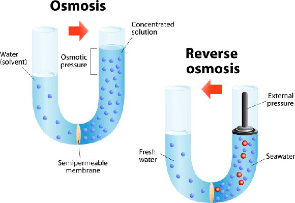osmosis concentration and water Osmosis is the chemical process of diffusion, involving the transfer of solvent with a lower concentration of a certain solute through a semipermeable membrane, and.