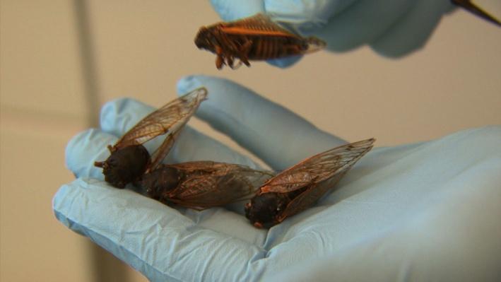 Cicada Secrets Video