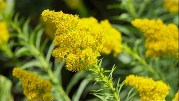 image of the goldenrod nebraskas state flower