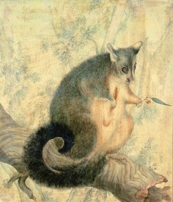The Possum