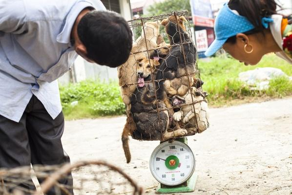Dogs Are Weighed at a Slaughter House Near Hanoi | Earth's Resources