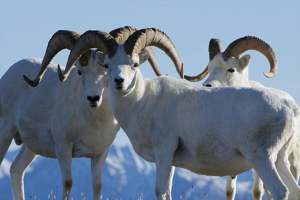 Male dall sheep stand closely together | Animals, Habitats, and Ecosystems
