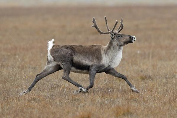 A young male caribou runs around the tundra | Animals, Habitats, and Ecosystems