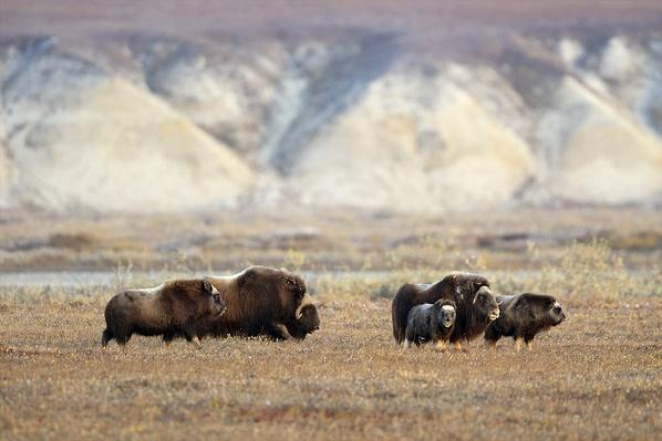 A group of musk oxen move across the tundra | Animals, Habitats, and Ecosystems