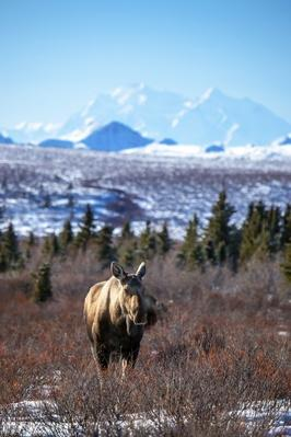Moose and Mount McKinley | Animals, Habitats, and Ecosystems