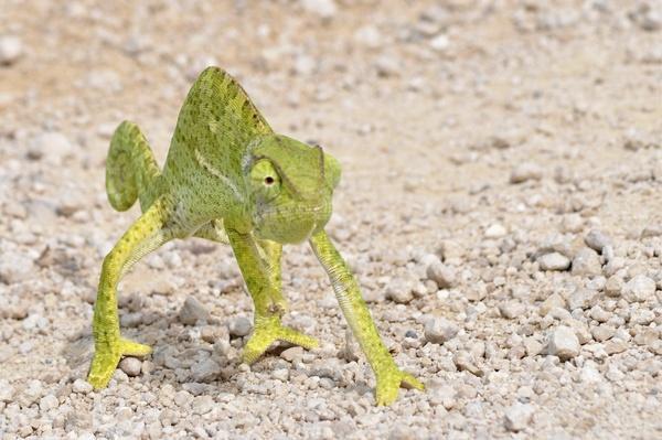 A flap-necked chameleon. (Chamaeloo dilepis) Etosha National Park, Namibia