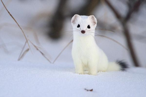 An ermine pauses for a moment to check its surroundings | Animals, Habitats, and Ecosystems