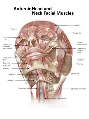 Anterior neck and facial muscles of the human head (with labels) | Science and Technology