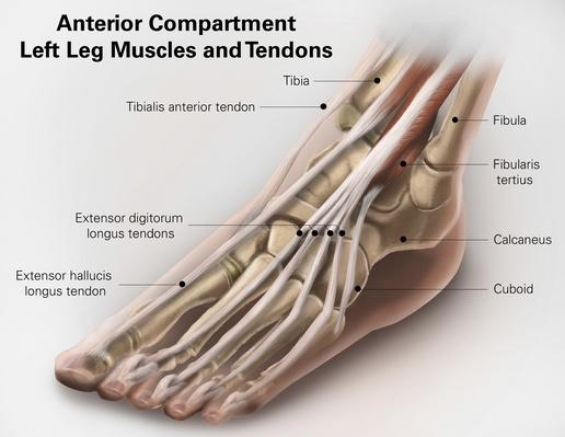 Anterior compartment anatomy of left leg muscles and tendons | Science and Technology