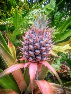 Close-Up of Pineapple Plant With Fruit | Earth's Resources
