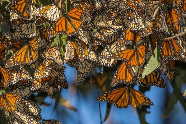 Migrating monarch butterflies (Danaus plexippus)