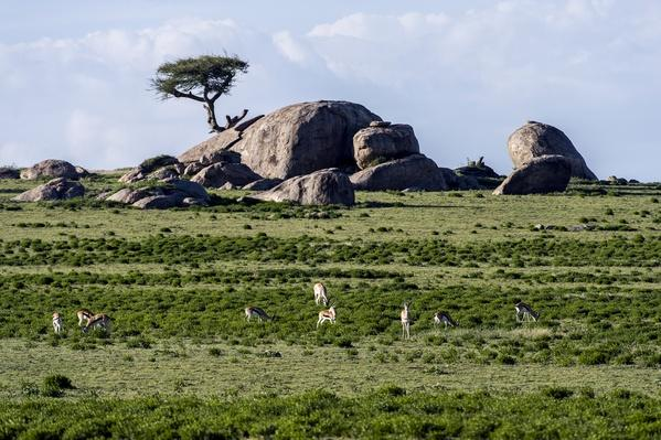 Thomson's Gazelles grazing on the short grass plains beneath a granite kopje | Animals, Habitats, and Ecosystems