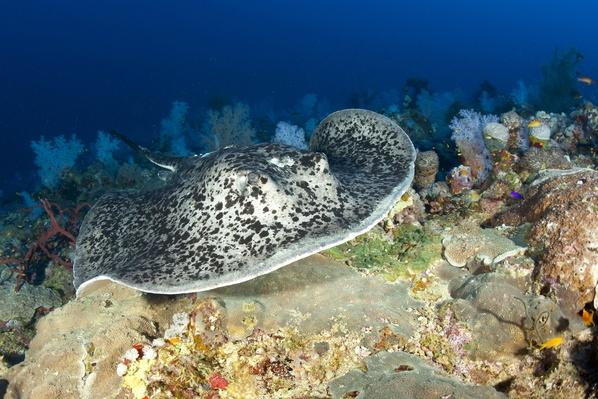 Black-spotted Stingray over Reef | Animals, Habitats, and Ecosystems