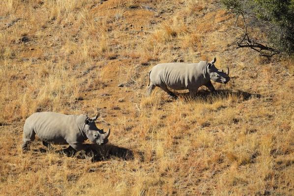 White rhinoceros pair | Animals, Habitats, and Ecosystems
