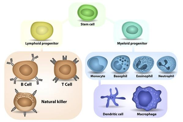 White Blood cell formation | Science and Technology
