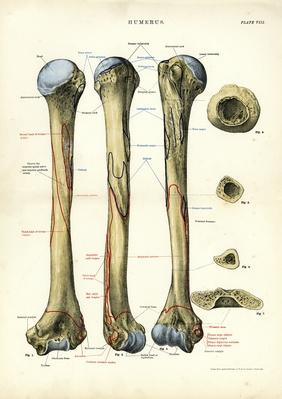 Human Anatomy - Humerus Bone | Science and Technology