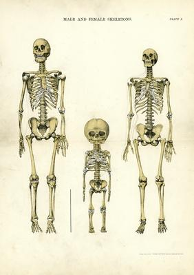 Male and Female Skeletons | Science and Technology