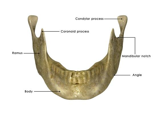 Lower jaw | Science and Technology