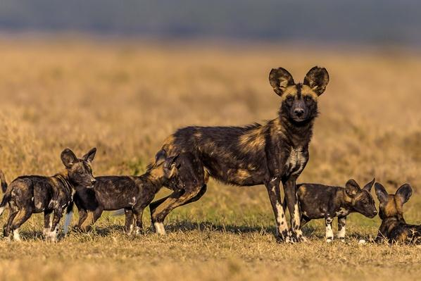 African wild dog playing with puppies | Animals, Habitats, and Ecosystems