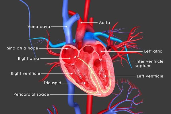 Human Heart | Science and Technology