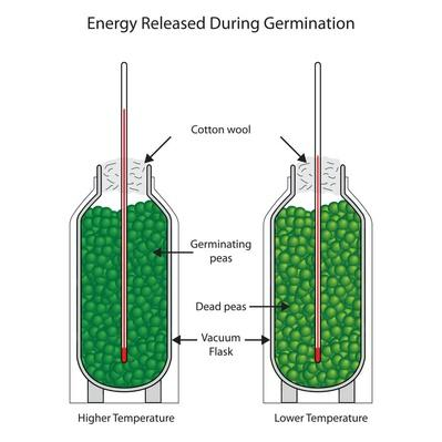 Energy released during germination of peas   Science and Technology