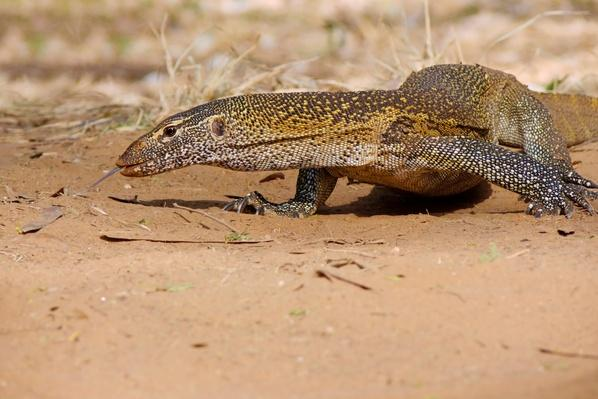 NILE MONITOR | Animals, Habitats, and Ecosystems