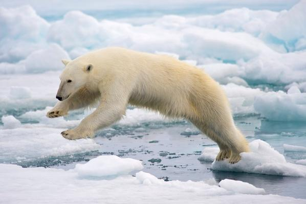 Polar Bear jumping in the fast ice | Animals, Habitats, and Ecosystems
