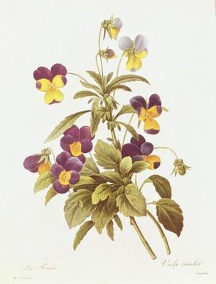 Viola Tricolour