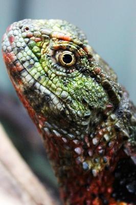 Chinese Crocodile Lizard