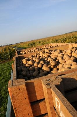 Freshly Dug Potatoes - Germany, Bavaria | Earth's Resources