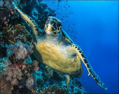 Green Sea Turtle, Red Sea | Animals, Habitats, and Ecosystems