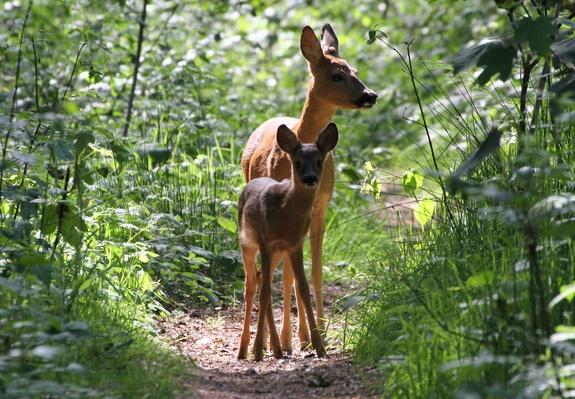 Forest Fawn | Animals, Habitats, and Ecosystems