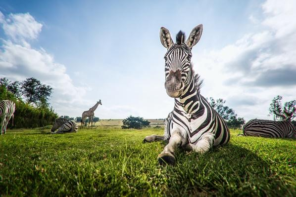 A close up image of a zebra relaxing | Animals, Habitats, and Ecosystems