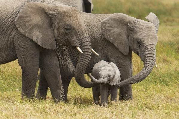 Elephants Offer Clues to Cancer's Secrets – Video