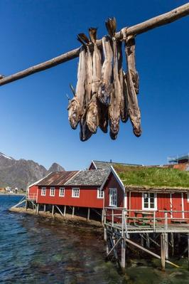 Stock Cod, Split and Drying - Norway, Scandinavia, Europe | Earth's Resources