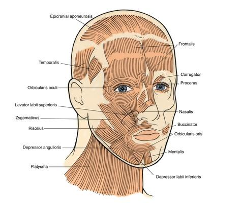 Illustration of Facial Muscles | Plants and Animals