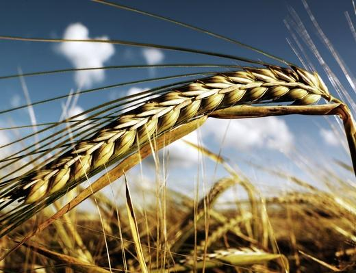 Close-Up of Wheat | Earth's Resources