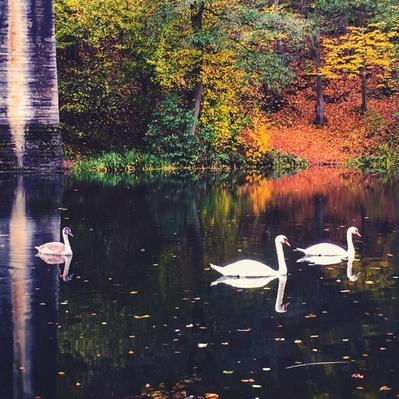 Swans Swimming On Lake During Autumn | Animals, Habitats, and Ecosystems