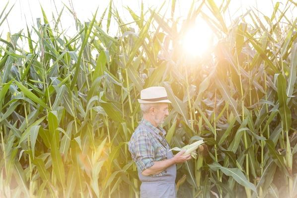 Farmer Examining Corn in Field | Earth's Resources