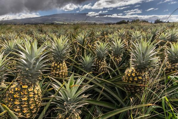 Pineapple Plantation | Earth's Resources